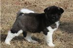 Picture of Chika-STUNNING Female Akita Puppy!