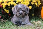 Picture of Benny-BEAUTIFUL TOY MALE Aussiedoodle Puppy!!!