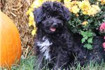 Picture of Carly-ADORABLE TOY Female Aussiedoodle Puppy!!!