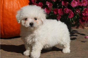 Tucker - Bichon Frise for sale