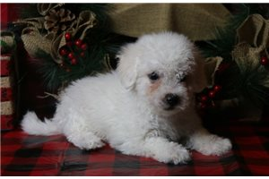 Oscar - Bichon Frise for sale