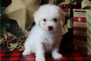 Sammy - Bichon Frise for sale
