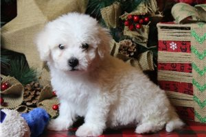 Lucas - Bichon Frise for sale