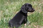 Picture of AKC Milly-Gorgeous, Small Female Mini Dach Puppy!
