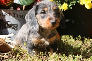 Wire Dachshunds for sale
