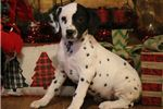 Picture of AKC Patches-STUNNING Female Dalmatian Puppy!!!