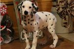 Picture of AKC Penny-BEAUTIFUL Female Dalmatian Puppy!!!!
