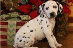 Picture of AKC Pongo-GORGEOUS BLUE EYE Male Dalmatian Puppy!!