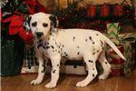 Picture of AKC Purdy-Female Dalmatian Puppy! BLUE EYE!!!!!!!!