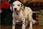 Picture of AKC Domino-Beautiful Male Dalmatian Puppy! Blueeye