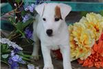 Picture of Milo-GORGEOUS Male Jack Russell Terrier Puppy!!!