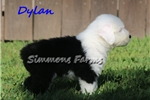 Picture of AKC Dylan-STUNNING Full White Head Male Puppy!