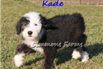 Picture of AKC Kade-Beautiful OES Male Puppy!