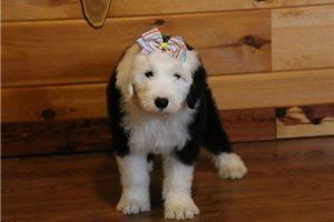 Misty - Olde English Sheepdog for sale