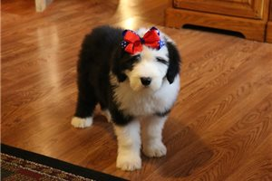 Polly - Olde English Sheepdog for sale