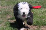 Picture of AKC Max-Gorgeous Male Sheepdog Puppy!