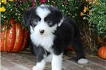 Picture of AKC Charlie-Beautiful Male Sheepdog Puppy!!