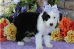 Picture of AKC Daisy-ADORABLE Female Sheepdog Puppy!!!