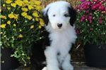 Picture of AKC Missy-Stunning BLUE EYE Female Sheepdog Puppy!