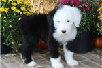 Picture of AKC Sophie-Gorgeous Female Sheepdog Puppy!!