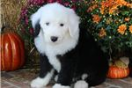 Picture of AKC Dixie-Gorgeous BLUE EYE Female Sheepdog Puppy!
