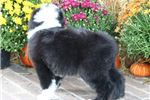 Picture of AKC Jake-Gorgeous Male Sheepdog Puppy!!