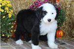 Picture of AKC Mollie-Beautiful Female Sheepdog Puppy!