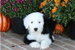 Picture of AKC Callie-Beautiful Female Sheepdog Puppy!