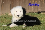 Picture of AKC Rocky-Gorgeous Male OES Puppy!