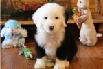 Picture of AKC Zaxby-Stunning Male Sheepdog Puppy!
