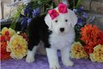 Picture of AKC Dixie-STUNNING Female Sheepdog Puppy!!!