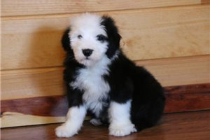 Max - Olde English Sheepdog for sale