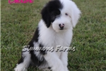 Picture of AKC Chloe-Adorable BLUE EYE Female Sheepdog Pup!