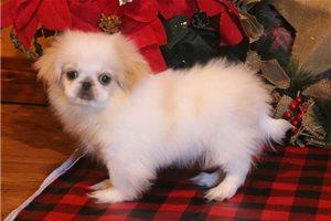 Tiny - Pekingese for sale