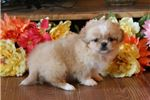 Betty-PRECIOUS Female Pekingese Puppy!!! | Puppy at 6 weeks of age for sale