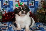 Pekingeses for sale