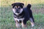 Picture of AKC Nikko-Beautiful Black/Tan Male Shiba Inu Puppy