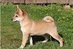 Picture of AKC Chika-STUNNING Red Female Shiba Inu Puppy!!!