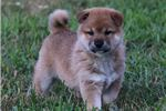 Picture of AKC Hoshi-Gorgeous, Friendly Shiba Inu Female Pup!