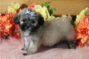 Addie - Shichon for sale