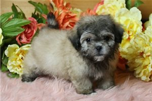 Andy - Shichon for sale