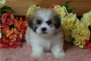 Benny - Shichon for sale