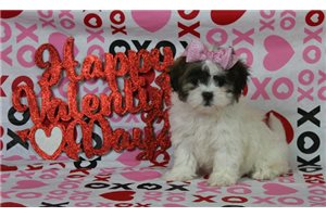 Sally - Shichon for sale