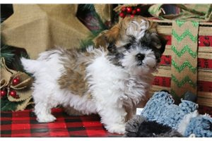 Teddy - Shichon for sale