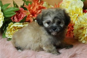 Abe - Shichon for sale
