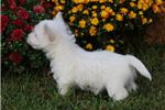 Picture of Mikey-BEAUTIFUL Male Westie Puppy!!!