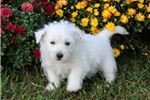 Picture of Casper-ADORABLE Male Westie Puppy!!!
