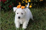 Picture of Bella-GORGEOUS Female Westie Puppy!!!