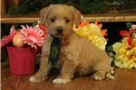 Picture of Cash-BEAUTIFUL Male WestiePoo Puppy!!!!