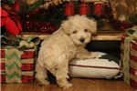 Picture of Roscoe-STUNNING FLUFFY Male Westipoo puppy!!!!!!!!
